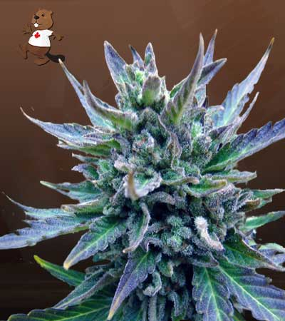 Lambs Breath Feminized Marijuana Seeds