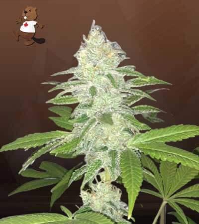 Lemon Sherbert Feminized Marijuana Seeds