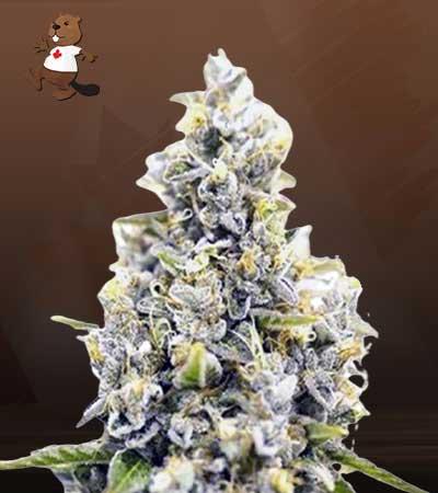 Maui Sunset Feminized Marijuana Seeds