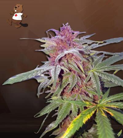 Pink Panther Feminized (fast) Marijuana Seeds
