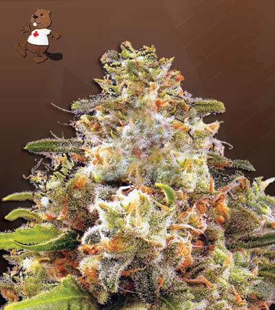 Strawberry Cough Autoflower Marijuana Seeds