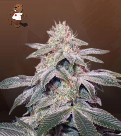 Sugar Kush Feminized (fast) Marijuana Seeds