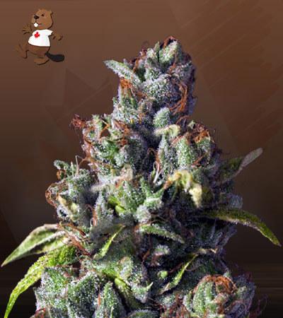 Venice OG Feminized (fast) Marijuana Seeds