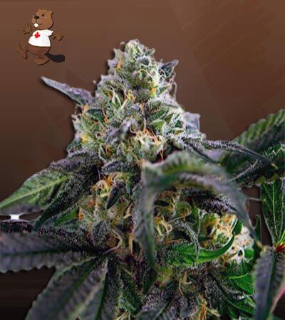 Yoda OG Feminized (fast) Marijuana Seeds