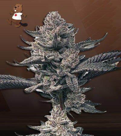 Butter Og Autoflower Marijuana Seeds
