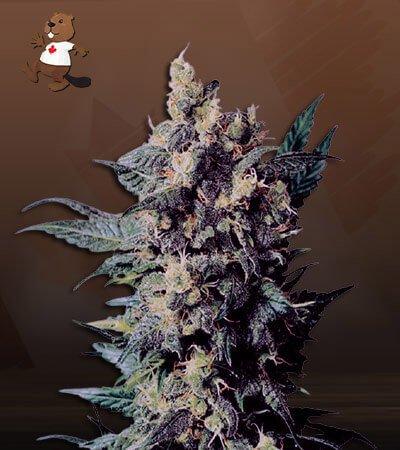 Church Og Autoflower Marijuana Seeds