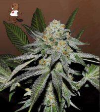 Double Scoop Feminized Marijuana Seeds