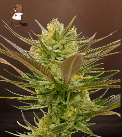 Banana Punch Feminized