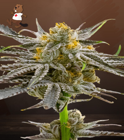 Blood Diamond OG Feminized