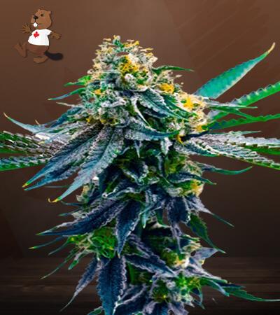 Blueberry x Big Bud Autoflower