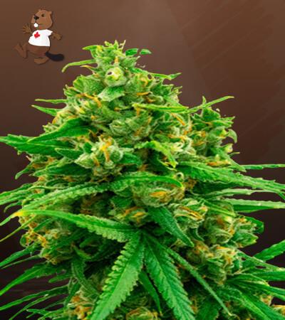 bruce banner x mochalope feminized marijuana seeds