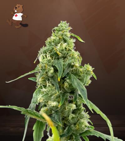 cbd black diesel marijuana seeds