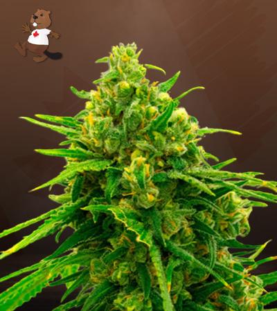 cbd white widow marijuana seeds