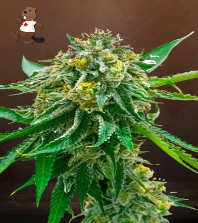 cinderella99 x early skunk marijuana seeds
