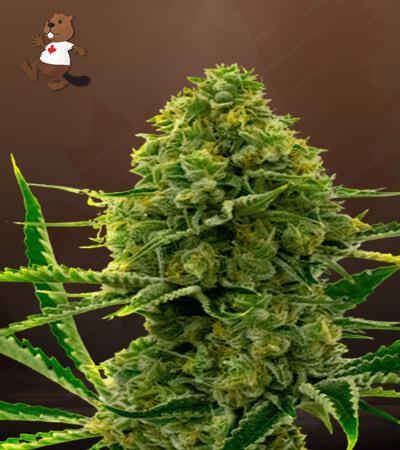 cinderella99 x kali mist marijuana seeds