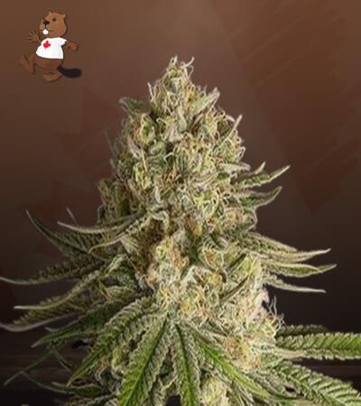 critical kush feminized marijuana seeds