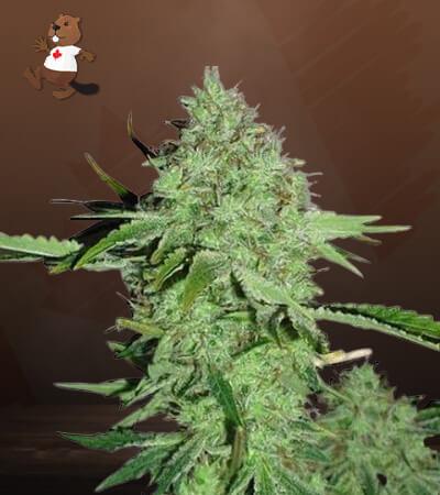 crystal feminized marijuana seeds