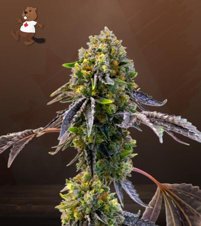 Fruit Autoflower