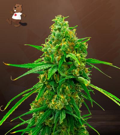 girl scout cookies x cheese feminized marijuana seeds