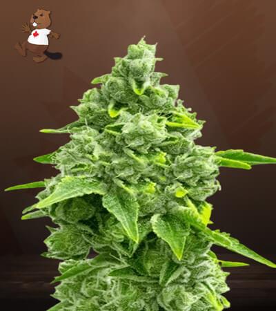 gorilla glue #4 x zkittles feminized marijuana seeds
