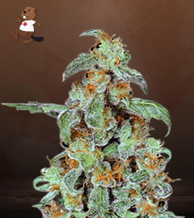 orange bud marijuana seeds