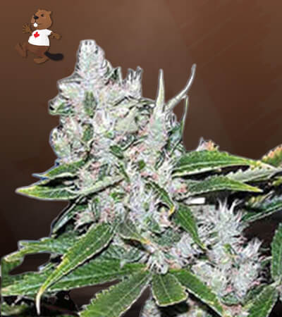 White Amnesia Feminized